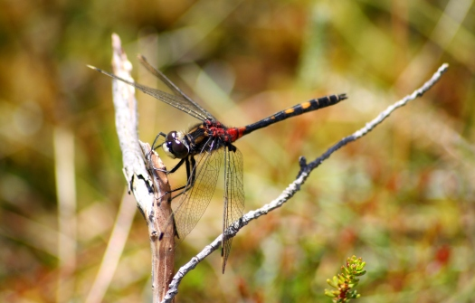 White-faced Darter - Kevin Reynolds